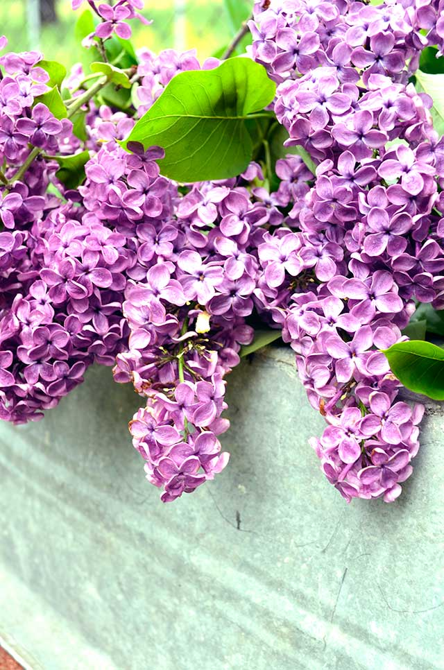 LilacsBasin