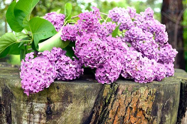 LilacsWood