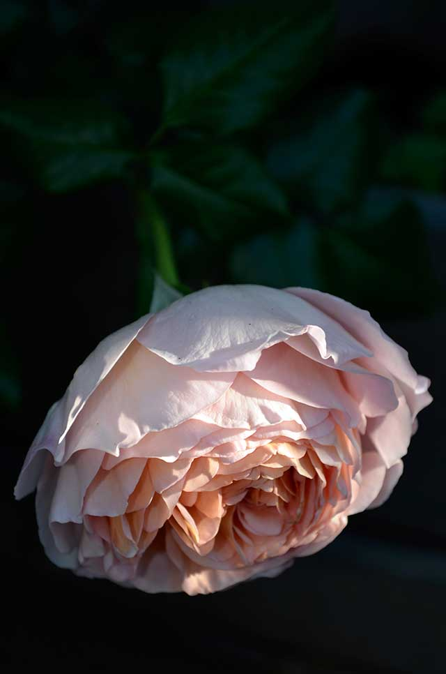 "English Rose ""Abraham Darby"""