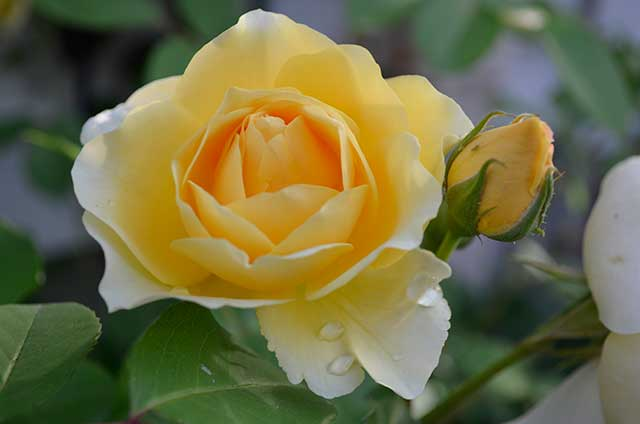 "English Rose ""Graham Thomas"""