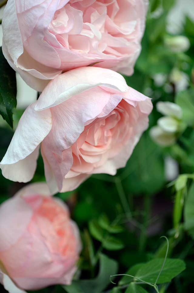 "English Rose ""Heritage"""