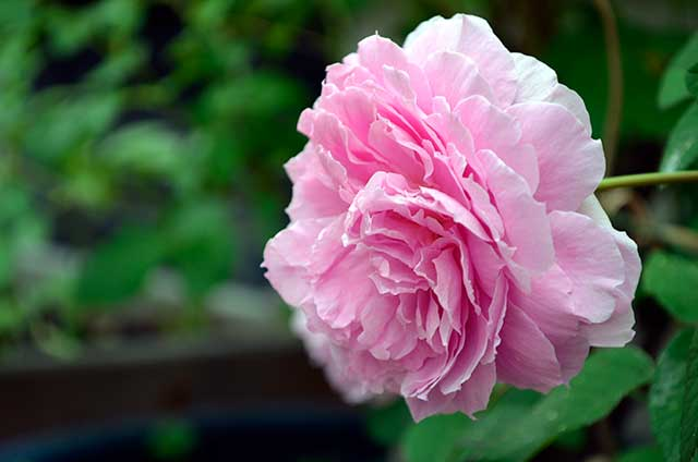 "English Rose ""May Flowers"""