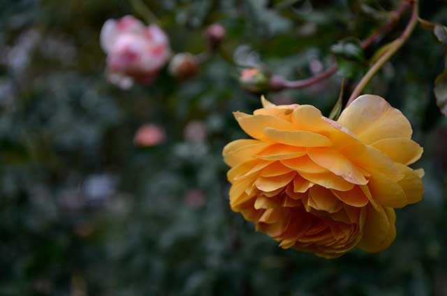 YellowFallRose
