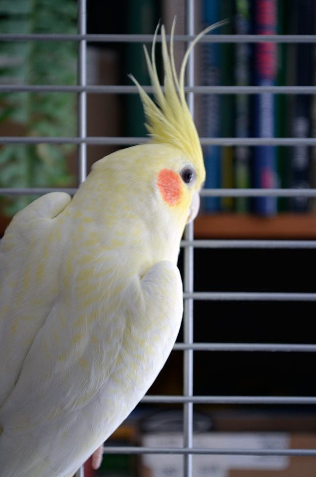 Yellow cockatiel / Totally by Design