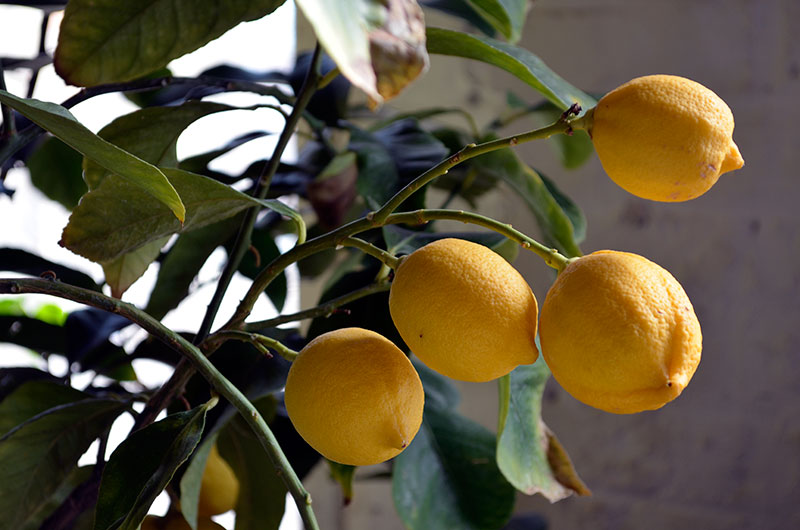 Lemon tree / totally by design
