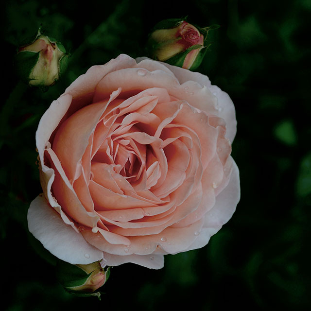 Rose Abraham Darby in Container | totally by design