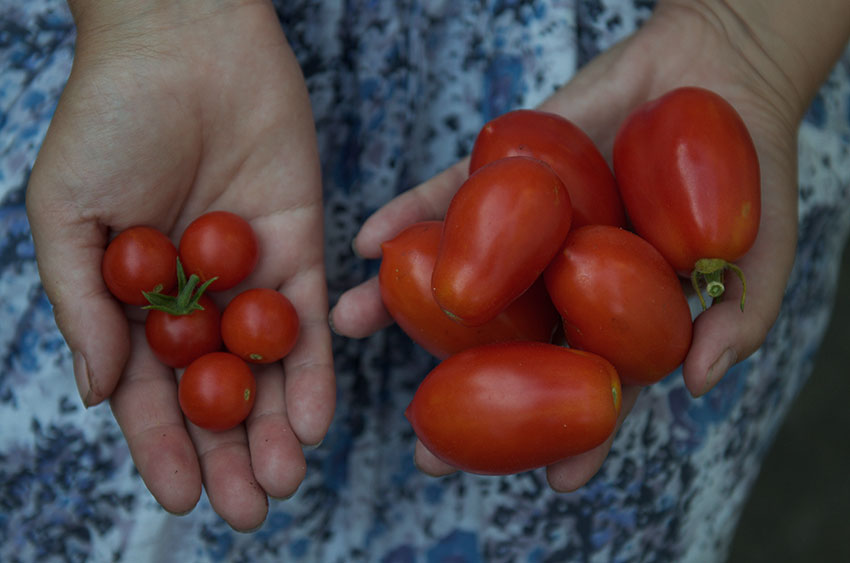 Tomato Harvest | totallybydesign.com